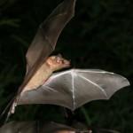 murcielago volando en la noche