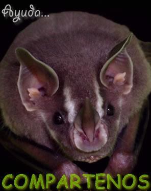 Características de los murciélagos » MURCIELAGOPEDIA