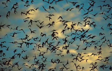 bandada de murcielagos